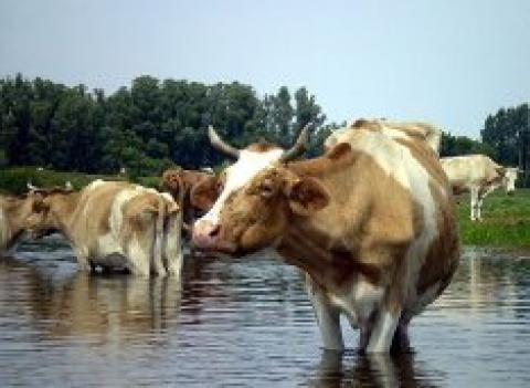 Sprzedam stada bydla miesnego, mlecznego