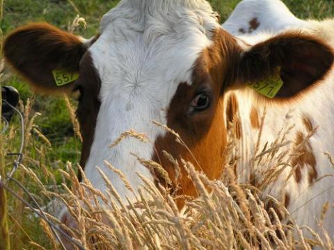 Ukraina. Krowy pierwiastki od 700 zl/szt. Mleko 4% cena 0,40 zl/litr. Czernihowski obw. Mleko swieze powyzej 4% tluszczu. Prosto od krowy, nieprzetworzone i nie podane pasteryzacji. Cielaki, cieleta, byczki, bydlo mleczne w ciaglej sprzedazy. Krowy dojne, jalowki wysokocielnie, mieszaniec miesno-mleczny od 700 zl/szt. Cale stada z dobrych gospodarstw o duzej wydajnosci. Srednia 30 litrow mleka dziennie na 1 krowe. Rasy sa bardzo plodne i dlugowieczne. Ukrainska czerwona stepna, siera, golsztynska, czarnoriaba itp. Oferujemy krowy mleczne do dalszego chowu w wieku od 2 lat, bydlo opasowe. Obory murowane, ziemia rolna. Mozliwosc dzierzawy 150 zl/hektar rocznie duzych obszarow. Budynki farmy mlecznej po bylym gospodarstwie rolnym. Zapraszamy do wspolpracy wszystkich zainteresowanych.  Telefon: +380505806241 (polsk.),  E-mail: nieruchomosci@ukr.net   Skype:IgorKijow Europart,ul.O.Teligi 21,lok.24 Kijow 04060 Ukraina